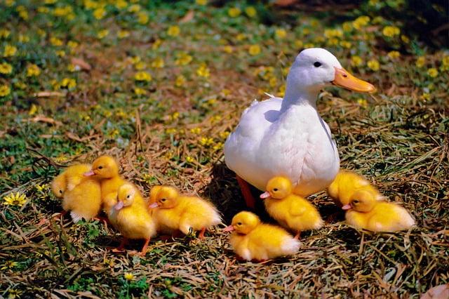 moedereend met kuikens
