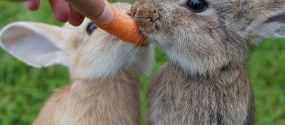 konijnen-eten-wortel